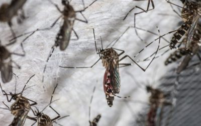 Singapore Facility to Produce Millions of Mosquitoes to Fight Dengue Outbreak