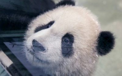 Second Taiwan-Born Panda Cub Makes Media Debut