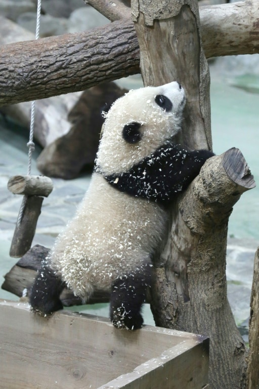 Yuan Bao at Taiwan Zoo